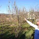 GÜNCEL Haber ; Sinop'ta Erik Ağacı Aralık Ayında Çiçek Açtı…