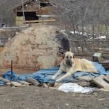GÜNCEL Haber ; Kayıp 5 Kişilik Aileye Ait Çoban Köpekleri, Enkaz Alanından Ayrılmıyor….