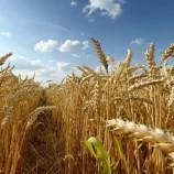 Boyabat'ta Buğday Üretiminde % 50 Düşüş, Ekmeğe Zam Kapıda mı?…
