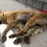 Otomobilin Çarptığı Köpek, Can Çekişerek Öldü…