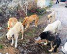 Boyabat-Ayancık Yolunda Aç Köpekler Yiyecek Bekliyor…
