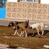 Boyabat'ta Sokak Köpekleri Yine Bir Çocuğa Saldırdı…