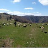 Karantina Altındaki Köyde Bulunan Koyunlar Açlıktan Ölmekten Kurtuldu…