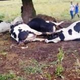 8 Büyükbaş Hayvan Tarlada Ölü Bulundu…