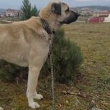 Kangal Cinsi Ödüllü Köpek Her Yerde Aranıyor…