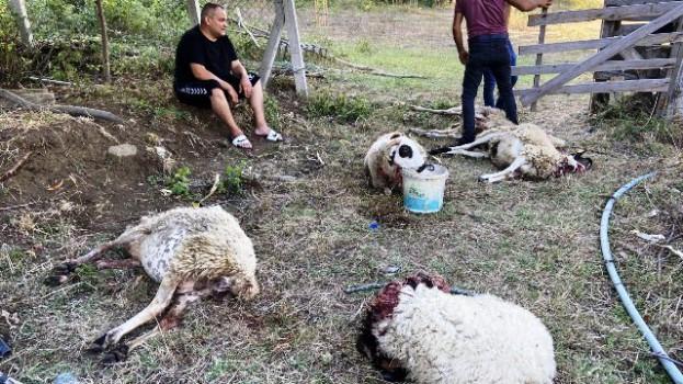 Köpekler Sürüye Saldırdı, 15 Koyun Telef Oldu…