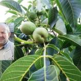 Ceviz Ağacından Düşen  Genç Adam Hayatını Kaybetti…