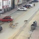 Boyabat'ta Guruplar Halinde Gezen Köpekler Tehlike Saçıyor…