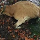 AC Ayılar Aynı Köye Tekrar İndi, Çok Sayıda Hayvan Yaralı ve Kayıp…